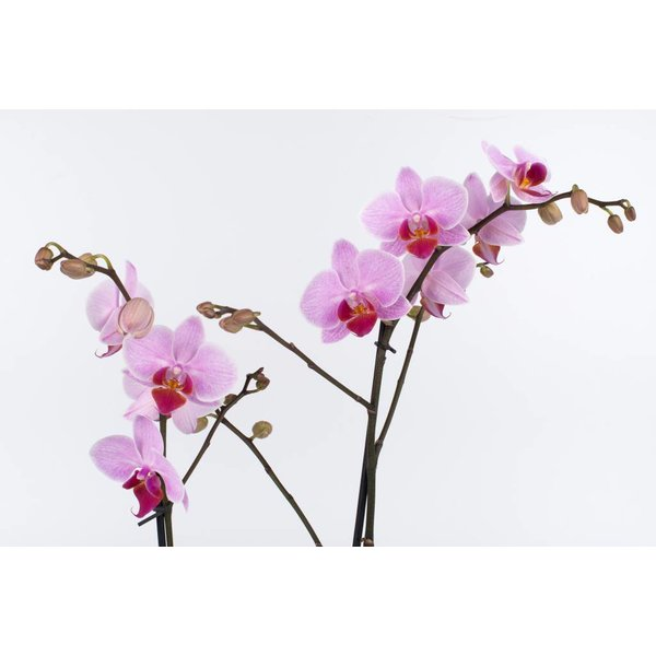 Orchidee Pink in pot ovaal