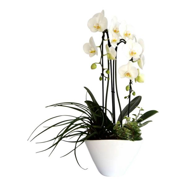 Orchidee White Cacsade in pot complete