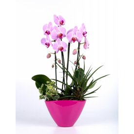 Fleur.nl - Orchidee Pink in pot Complete Rose