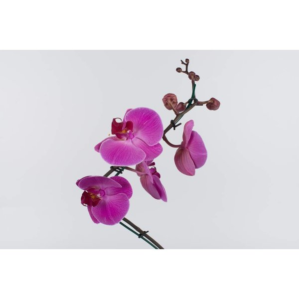 Orchidee Pink Twister in White pot