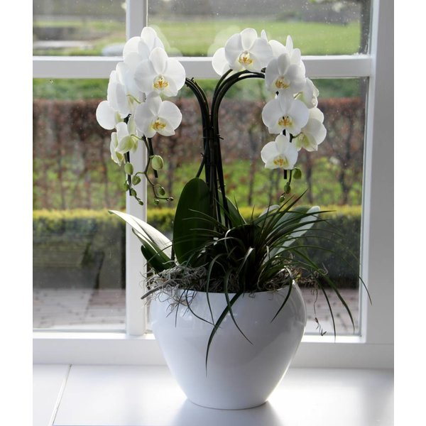 Orchidee Waterfall in Pot White