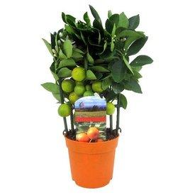 Fleur.nl - Sinaasappelboom Sinensis rek XS