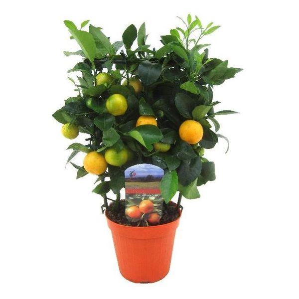 Sinaasappelboom Sinensis Medium Rek