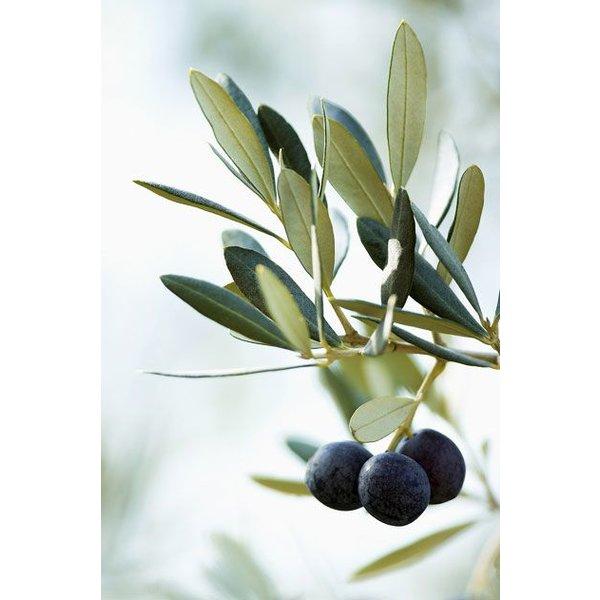 Olijfboom op stam medium
