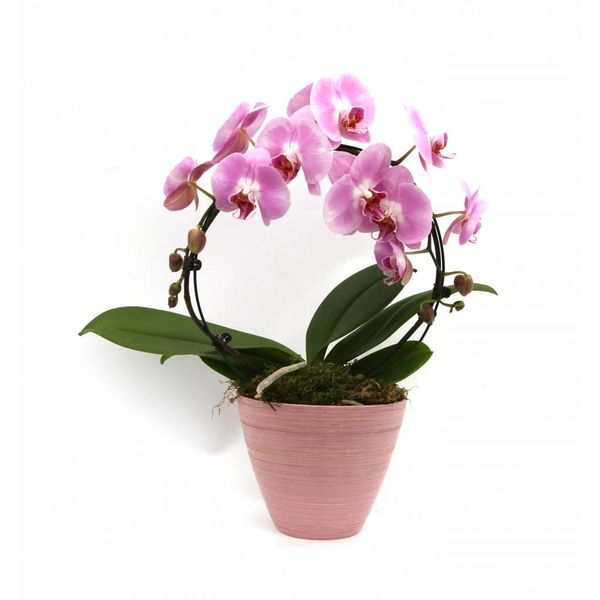 Orchidee Mirror Pink in pot