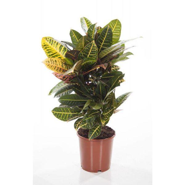 Croton struik Nerve small