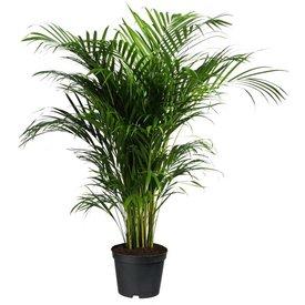 Fleur.nl - Palm Areca Lutescens Large