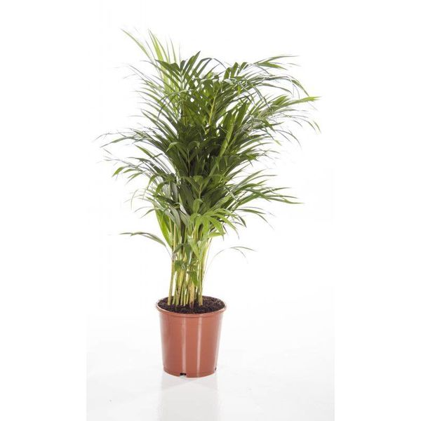 Palm Areca Lutescens XS
