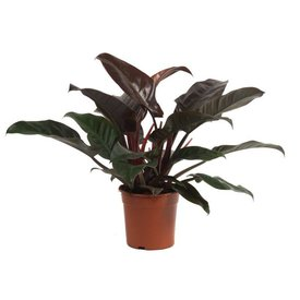 Fleur.nl - Philodendron Imperial Red medium