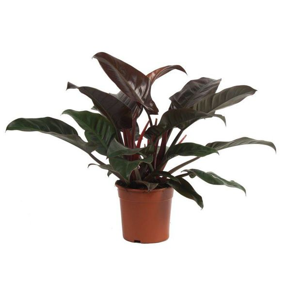 Philodendron Imperial Red medium