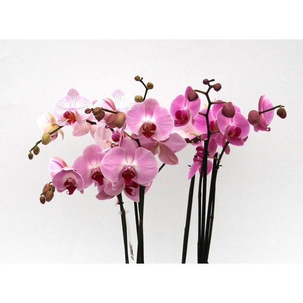 Orchidee Pink in pot Round large