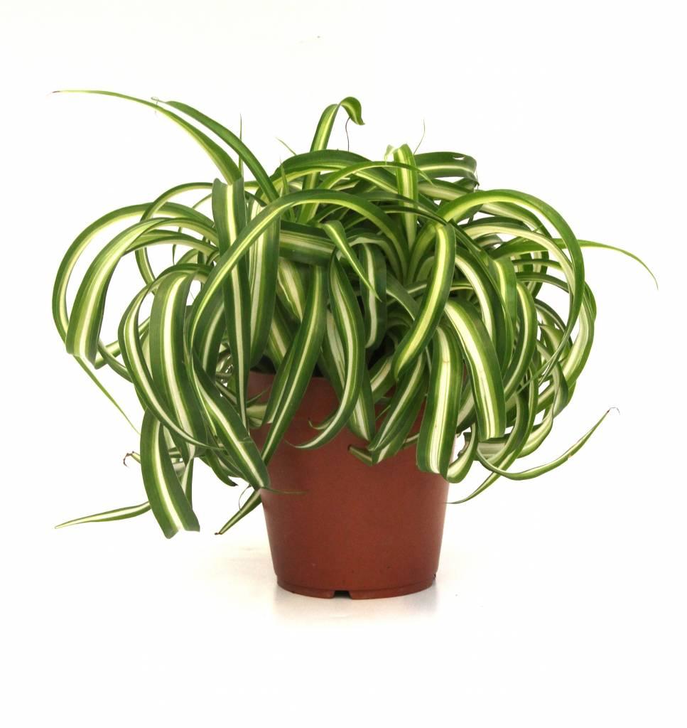 Super Vetplant Zebra Bonnie eenvoudig en snel online bestellen? | Fleur.nl @YK74