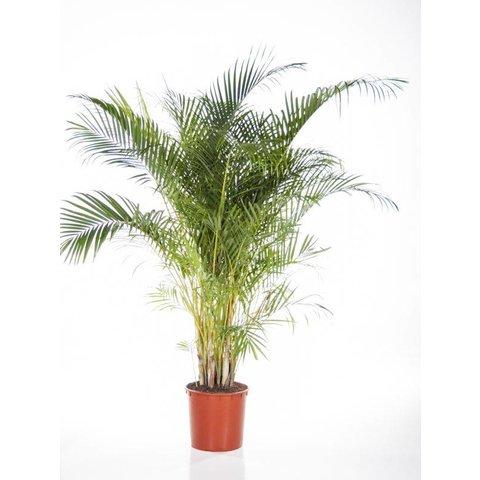 Palm Areca Lutescens XXL