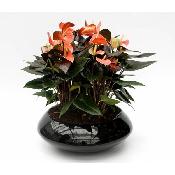 Anthurium in schaal zwart (large)
