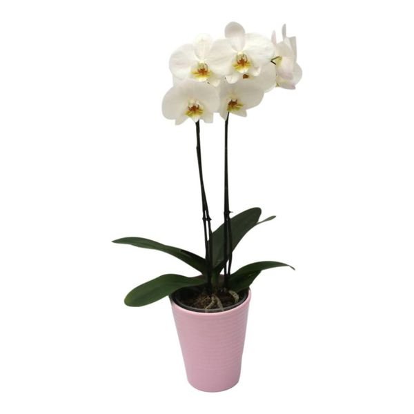 Orchidee White in pot Pink