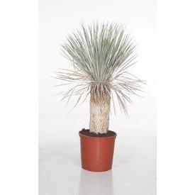 Fleur.nl - Yucca Rostrata enkele stam XL