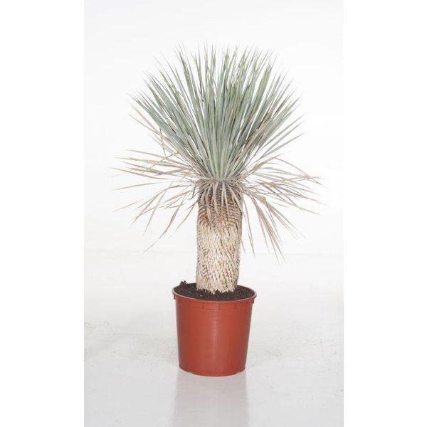 Yucca Rostrata enkele stam XL