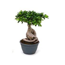 Fleur.nl - Ficus Bonsai microcarpa Compacta
