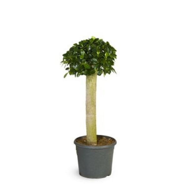 Ficus Bonsai Panda op stam medium