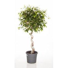 Fleur.nl - Ficus Exotica Benjamina Spiral medium