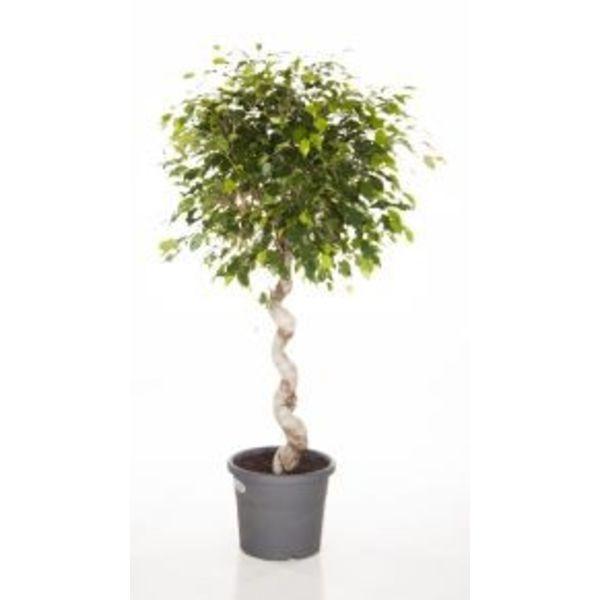 Ficus Exotica Benjamina Spiral medium