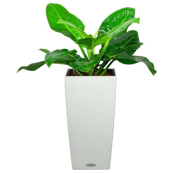 Philodendron Imperial in Zelfwatergevende pot