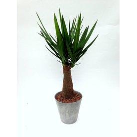 Fleur.nl - Yucca Elephantipes in pot grijs