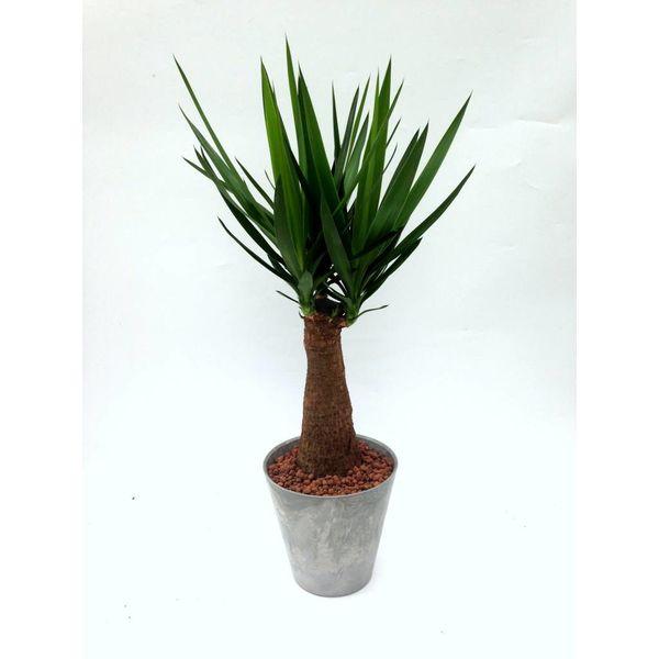 Yucca Elephantipes in pot grijs