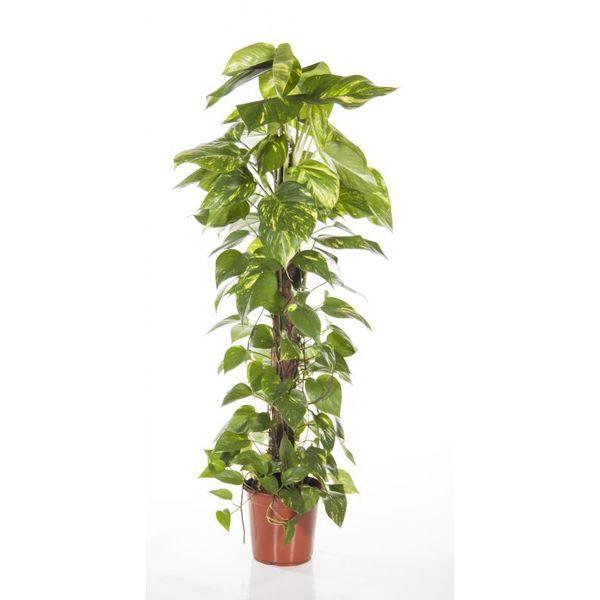 Epipremnum Scindapsus Aureum Mosstokmedium