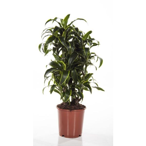 Dracaena Dorado Carrousel Medium