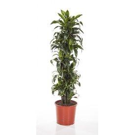 Fleur.nl - Dracaena Dorado vertakt large