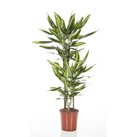 Fleur.nl - Dracaena Lemon lime Medium