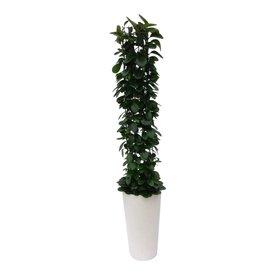 Fleur.nl - Hoya Australis in pot Artstone