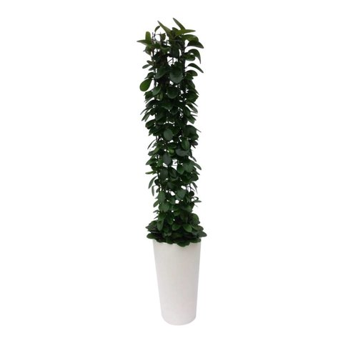 Hoya Australis in pot Artstone