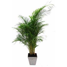 Fleur.nl - Palm Areca Large in pot artstone ella  grijs