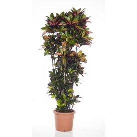 Fleur.nl - Croton struik mrs Iceton XXXL