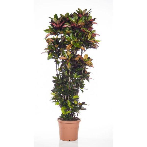Croton struik mrs Iceton XXXL