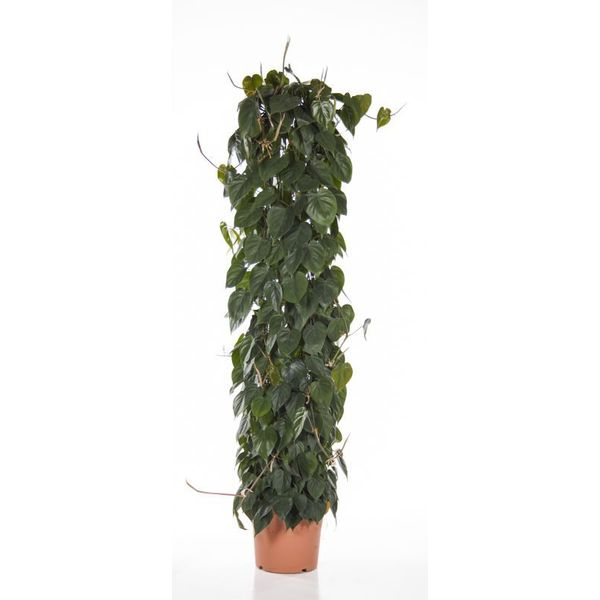 Philodendron Scandens Zuil XL