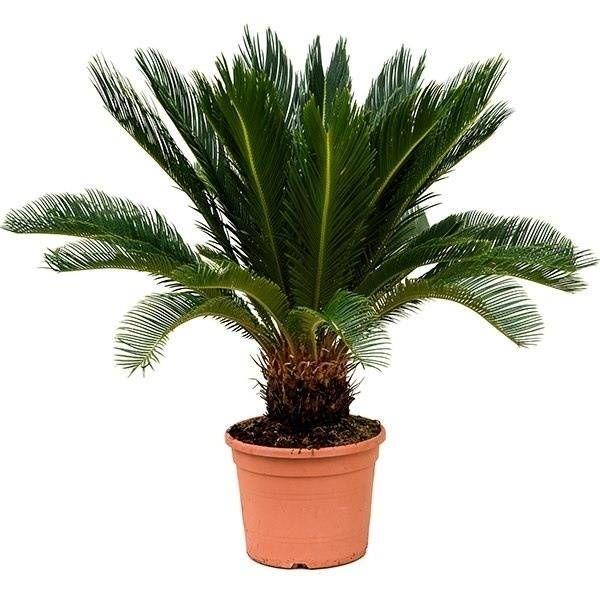Cycas Palm Revolta