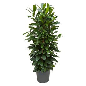Fleur.nl - Ficus Cyathistipula Toef