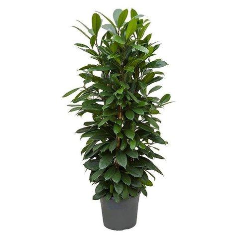 Ficus Cyathistipula Toef
