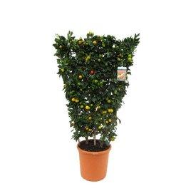 Fleur.nl - Sinaasappelboom Sinensis met standaard XL