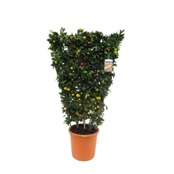 Sinaasappelboom Sinensis met standaard XL