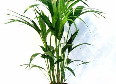 Verzorging van palmen