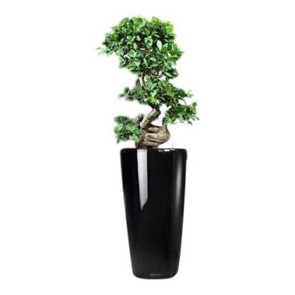 Lechuza Bonsai in watergevende Lechuza pot zwart