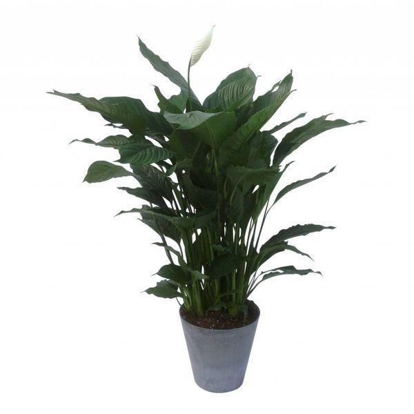 Spathiphyllum in pot Artstone