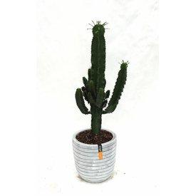 Fleur.nl - Cactus Euphorbia Ingens in Pot Capi