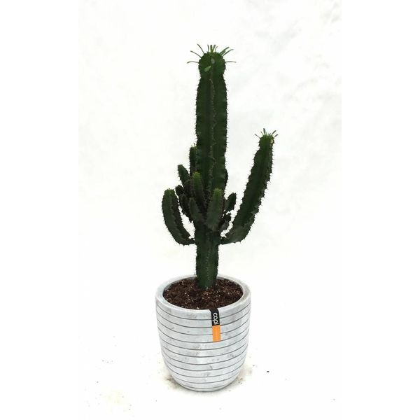 Cactus Euphorbia Ingens in Pot Capi