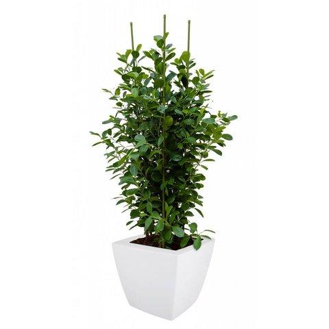 Ficus Moclame Toef met pot Elho