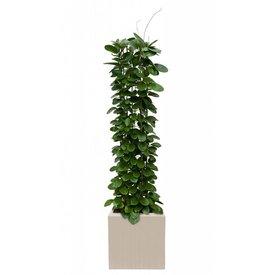 Fleur.nl - Hoya Australis in Pot Polystone